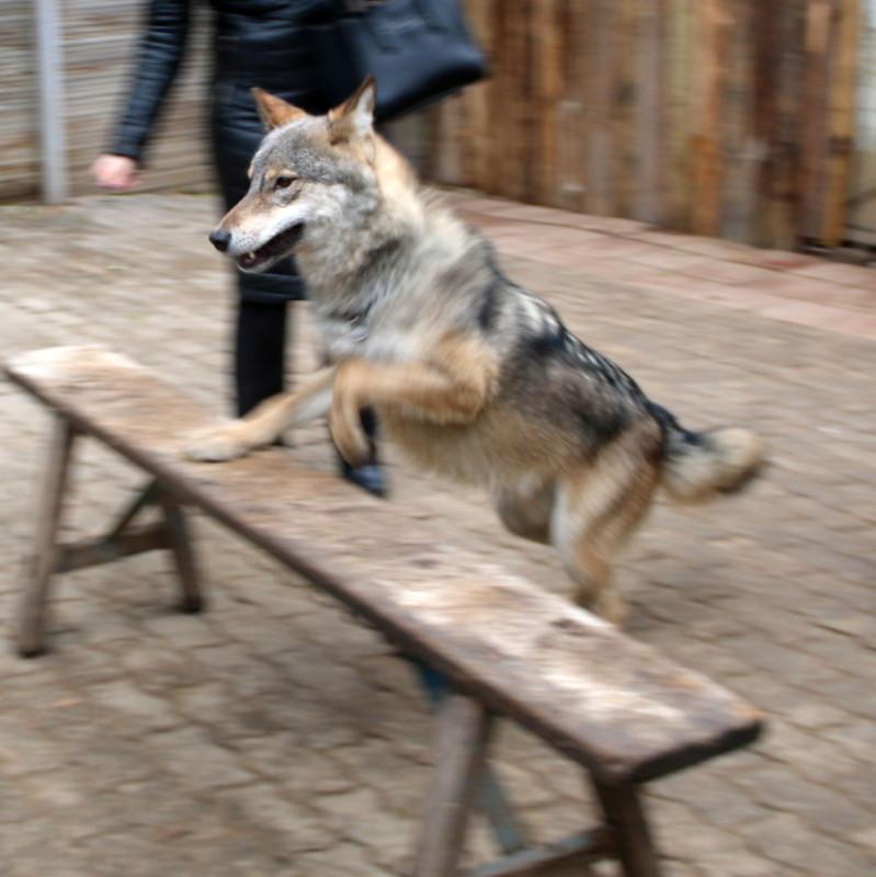 волк Февраль 28.jpg