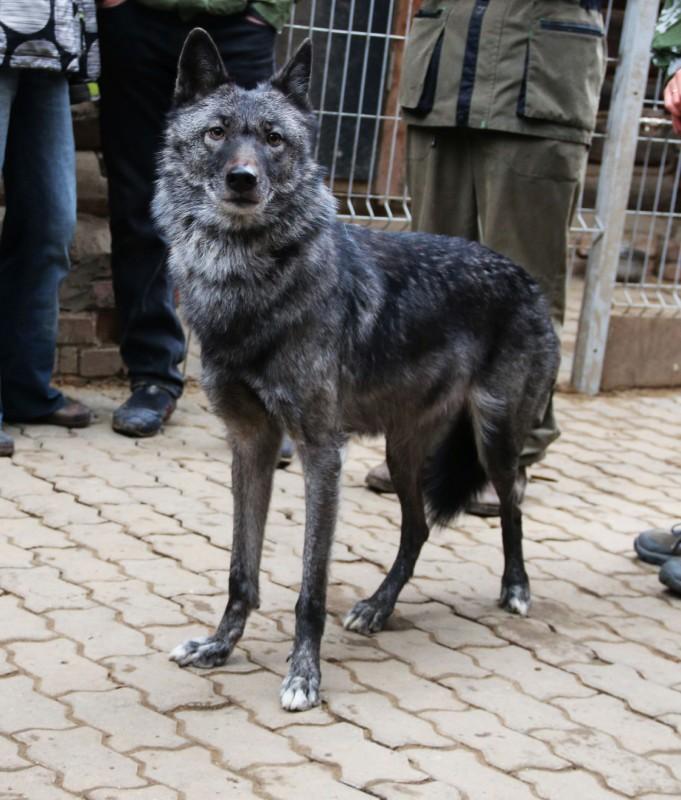Волчица Чара 2.jpg