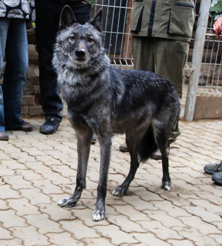 Волчица Чара 4.jpg