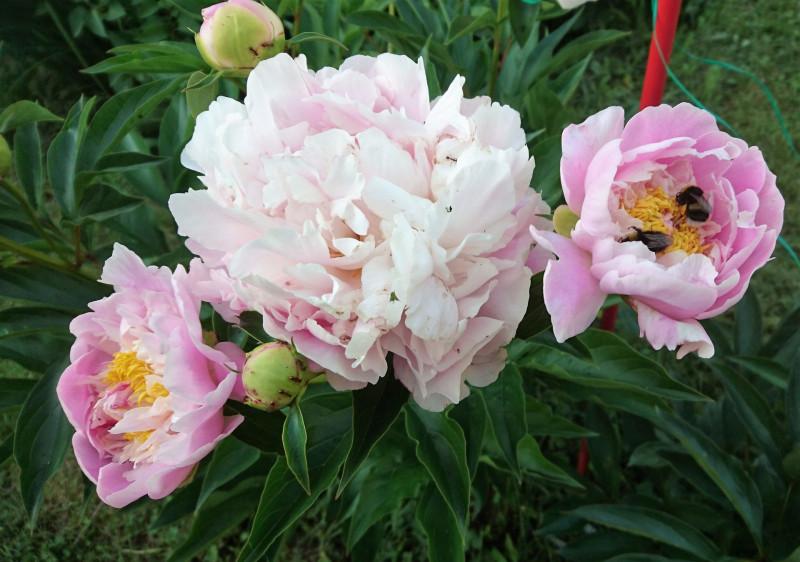 цветы 6 июня 2019 8.jpg