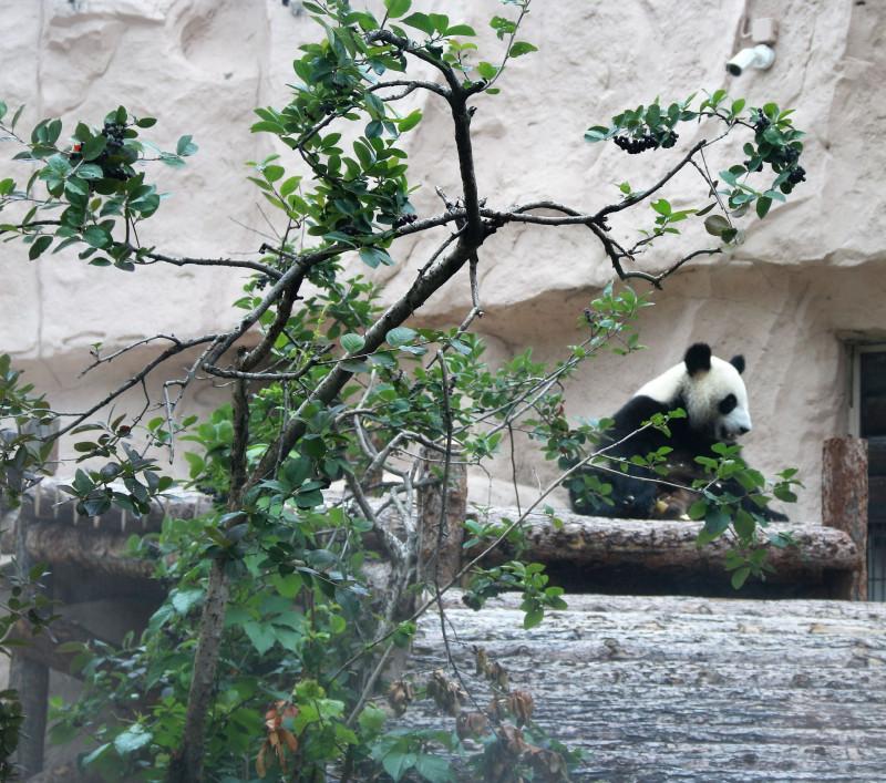 панды 5.jpg