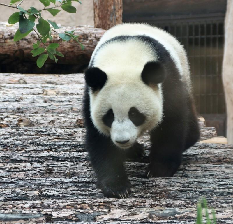 панды 8.jpg