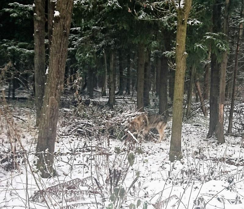 Канис в лесу 2 ноября 2019 3.jpg