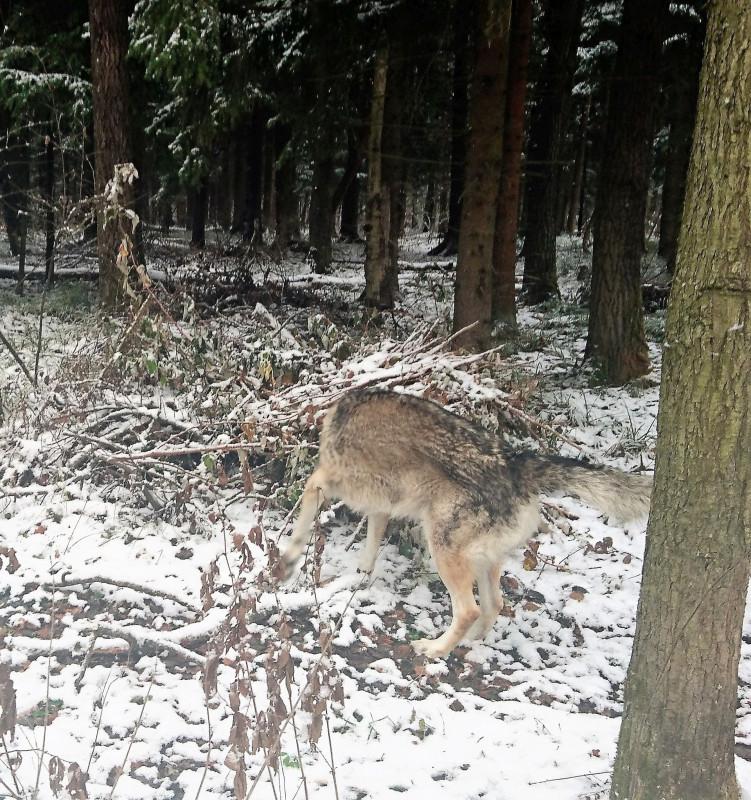 Канис в лесу 2 ноября 2019 4.jpg