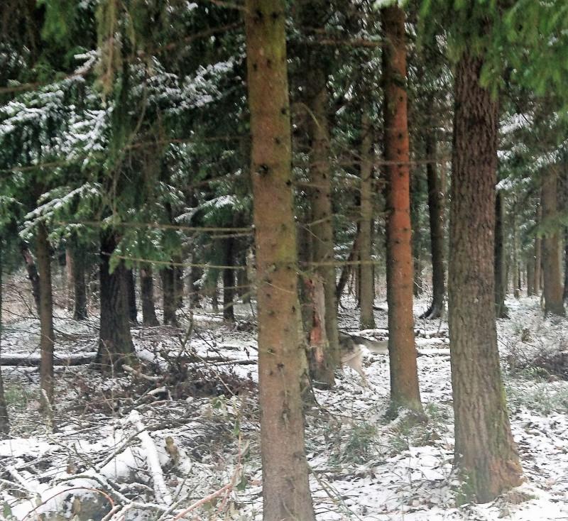 Канис в лесу 2 ноября 2019 5.jpg