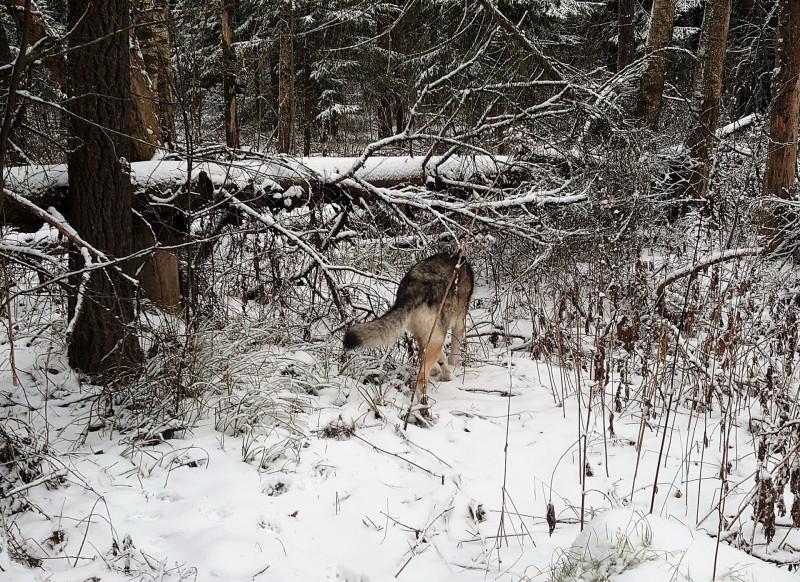 Канис в лесу 9 января 2020 9.jpg