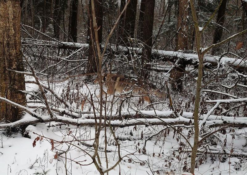 Канис в лесу 9 января 2020 10.jpg