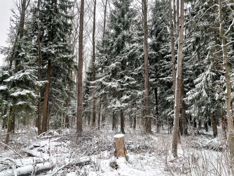 Канис в лесу 9 января 2020 12.jpg