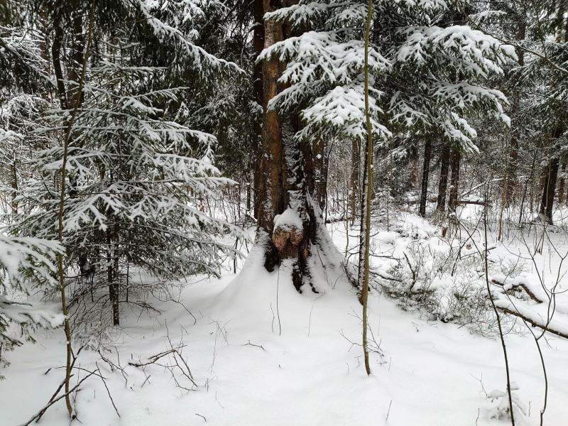 зимний лес 1 февраля 2020 5.jpg