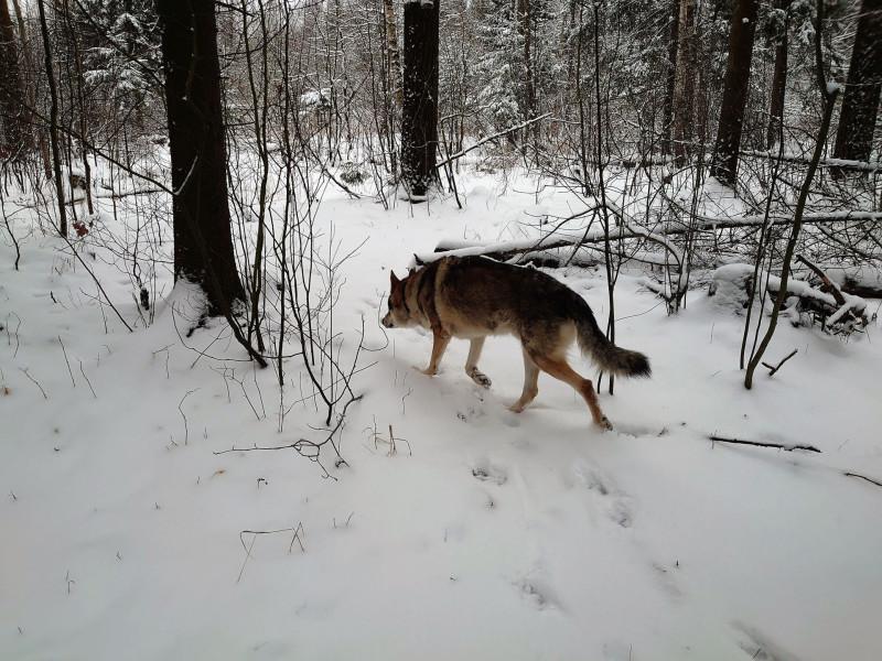 Канис в лесу 1 февраля 2020 1.jpg