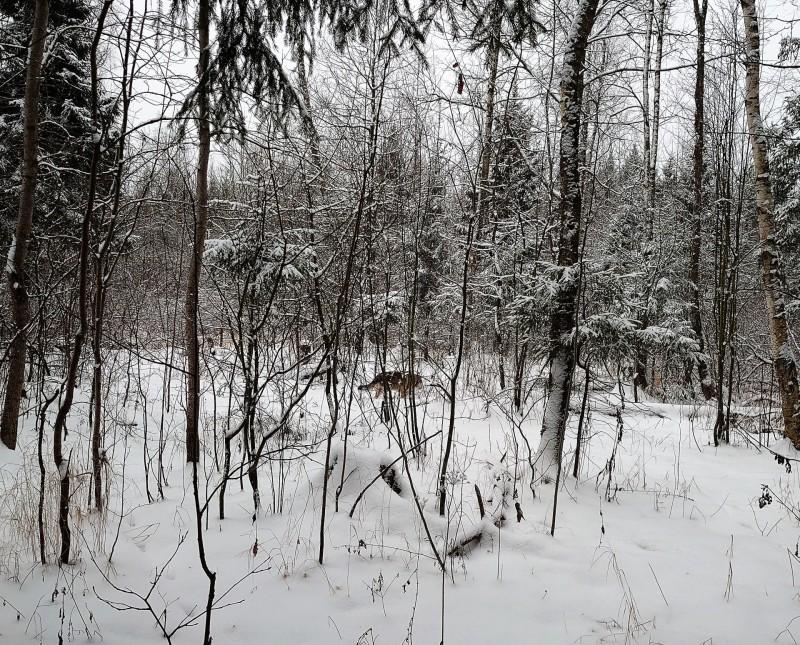 Канис в лесу 1 февраля 2020 4.jpg