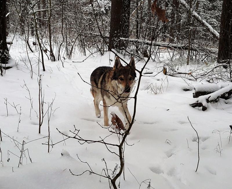 Канис в лесу 1 февраля 2020 5.jpg