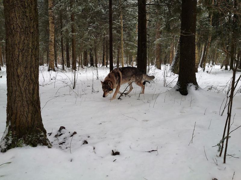Канис в лесу 15 февралф 2020 3.jpg