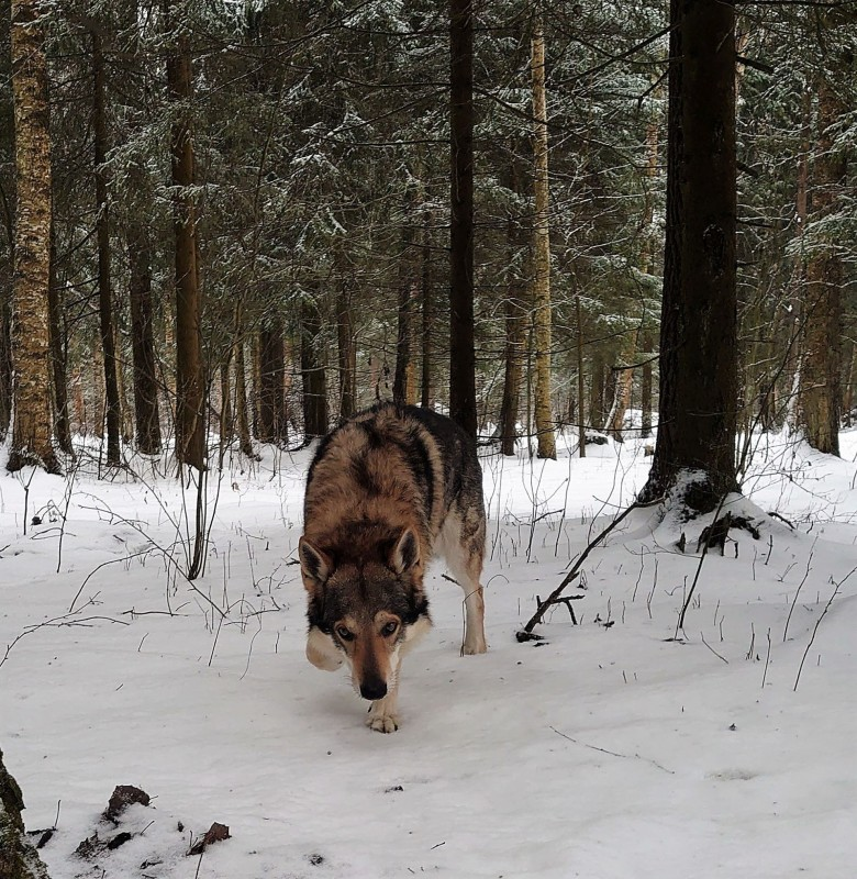 Канис в лесу 15 февралф 2020 4.jpg