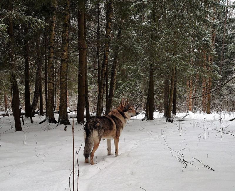 Канис в лесу 15 февралф 2020 5.jpg