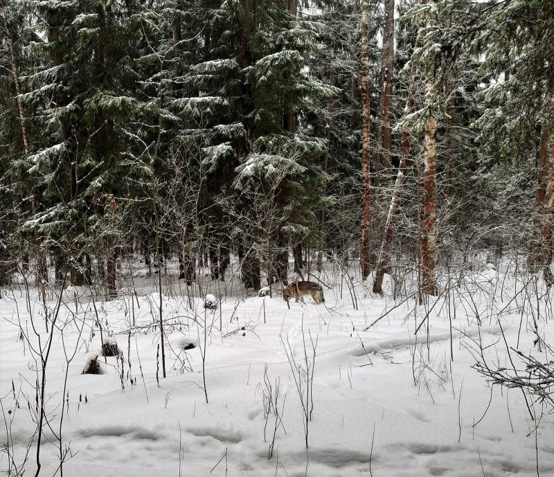Канис в лесу 15 февралф 2020 6.jpg