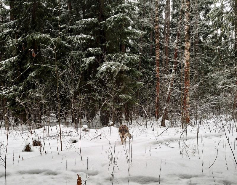Канис в лесу 15 февралф 2020 7.jpg