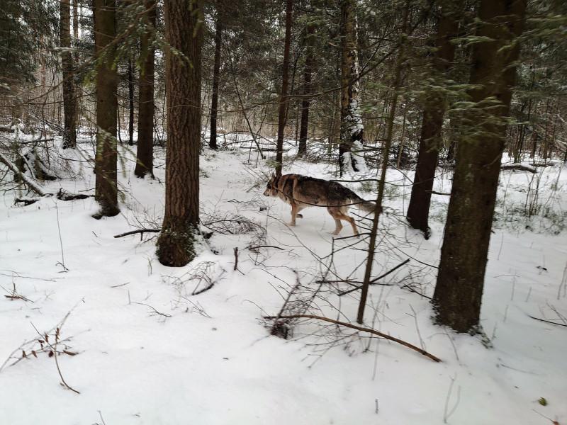 Канис в лесу 15 февралф 2020 10.jpg