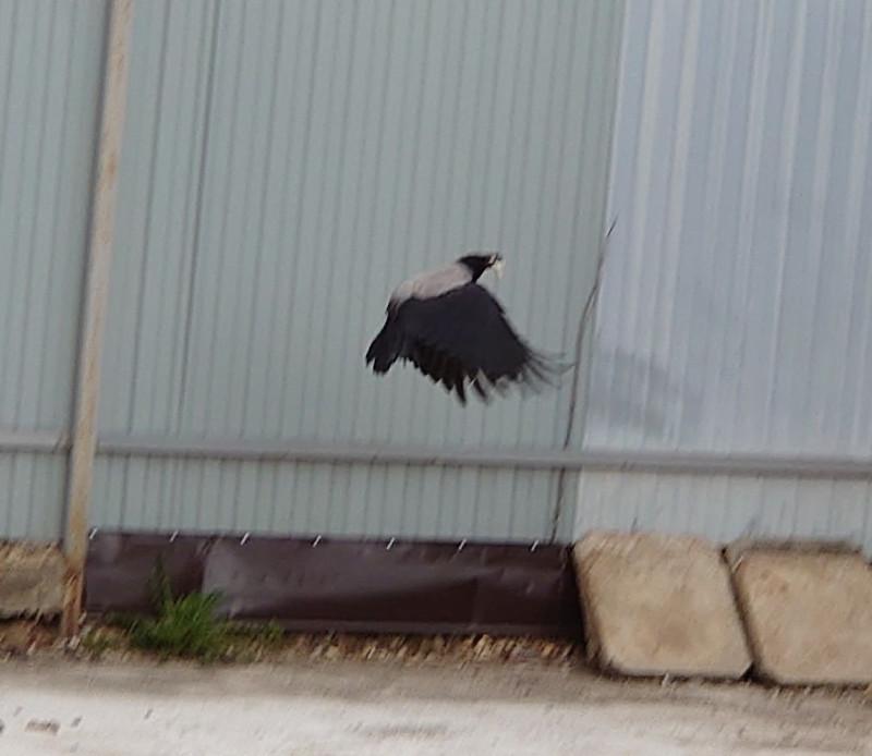 птицы ворона 6.jpg