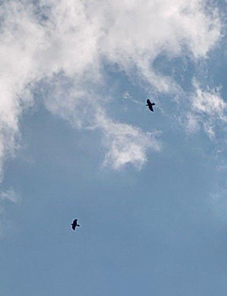птицы чёрный вороны 1.jpg