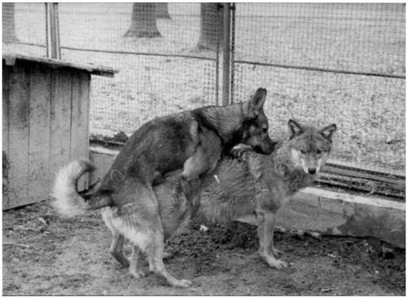 Первая вязка начало породы влчак.jpg