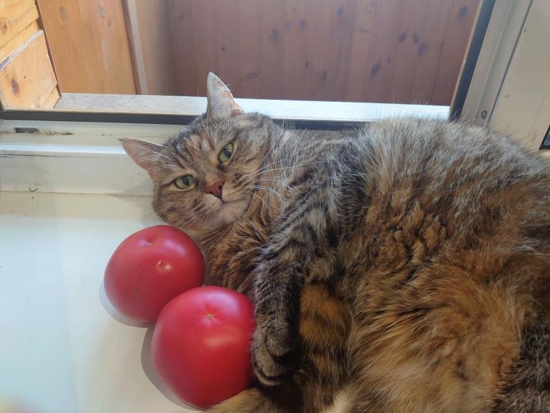 Джойка и помидоры 16 июня 2020 7.jpg