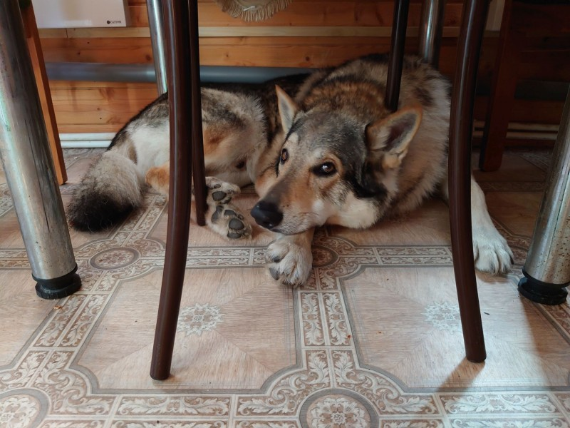 Канис под обеденным столом.jpg