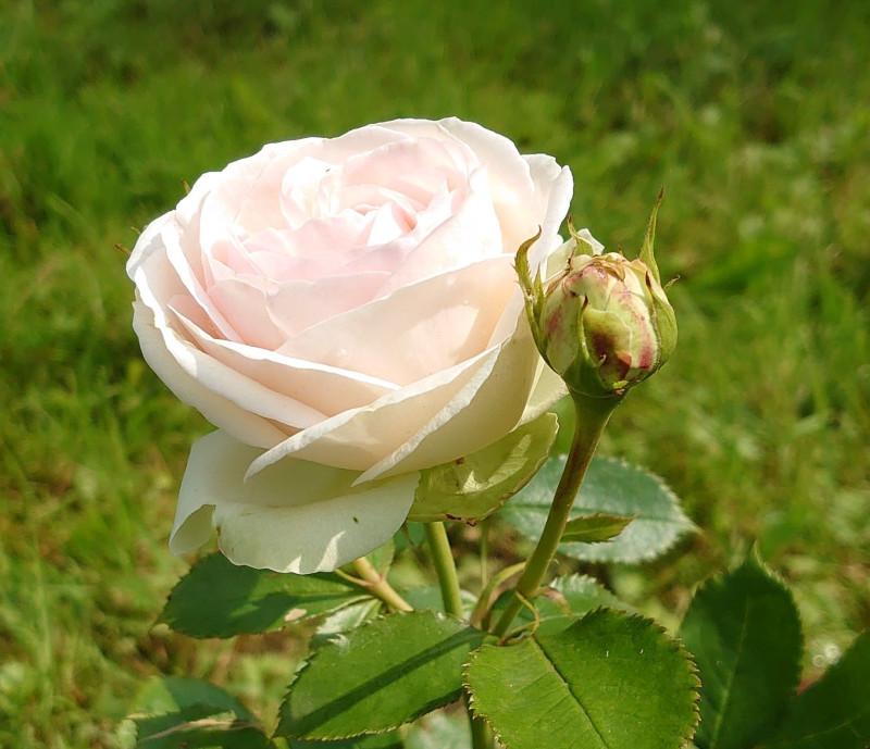 Роза июль 2020 2.jpg