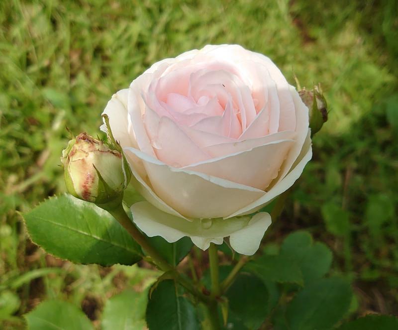 Роза июль 2020 3.jpg