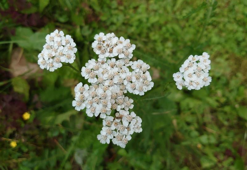 полевые цветы август 2020.jpg
