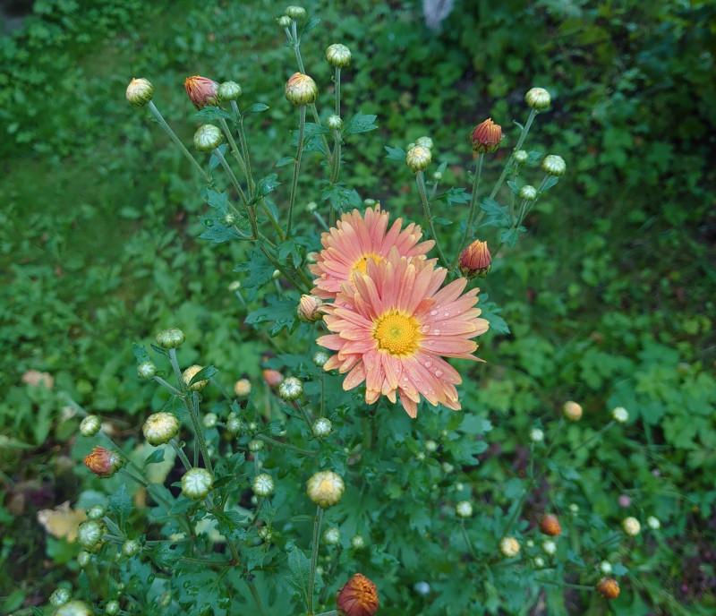 Цветы. Дача. 30 августа 2020.jpg