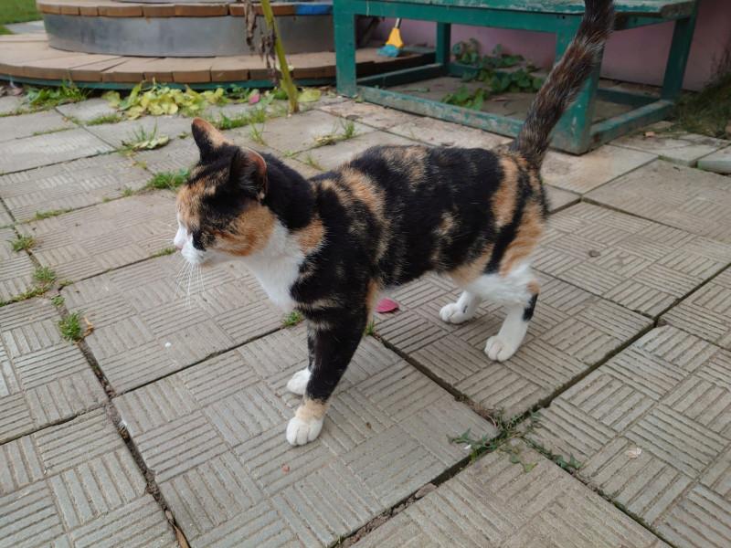 Трёхцветная кошка на пристройство 3.jpg