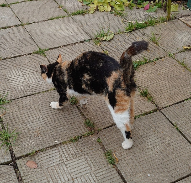 Трёхцветная кошка на пристройство 4.jpg