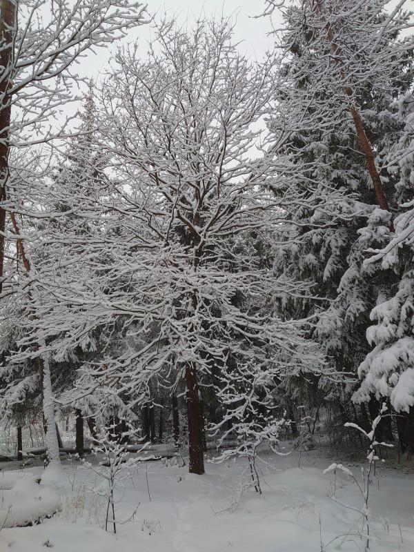 Зимний лес 2 января 2021 8.jpg