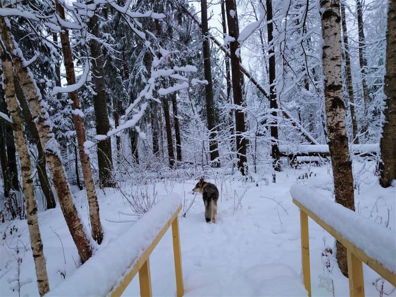 Канис в лесу 2 января 2021 1.jpg