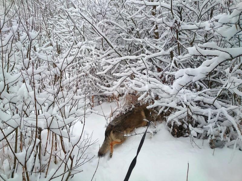 Канис в лесу 2 января 2021 3.jpg