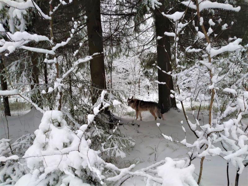 Канис в лесу 2 января 2021 6.jpg