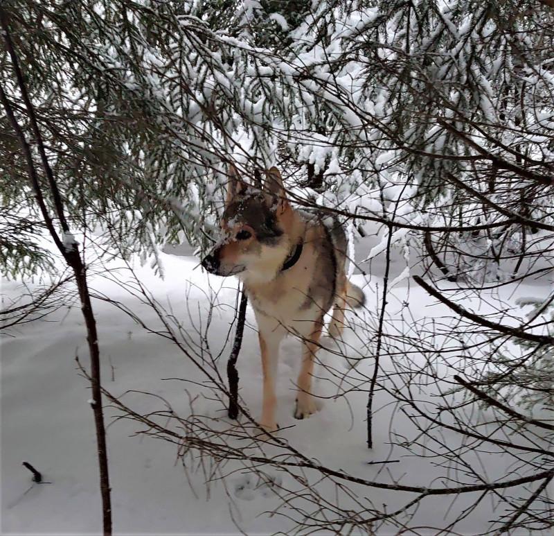 Канис в лесу 2 января 2021 8.jpg