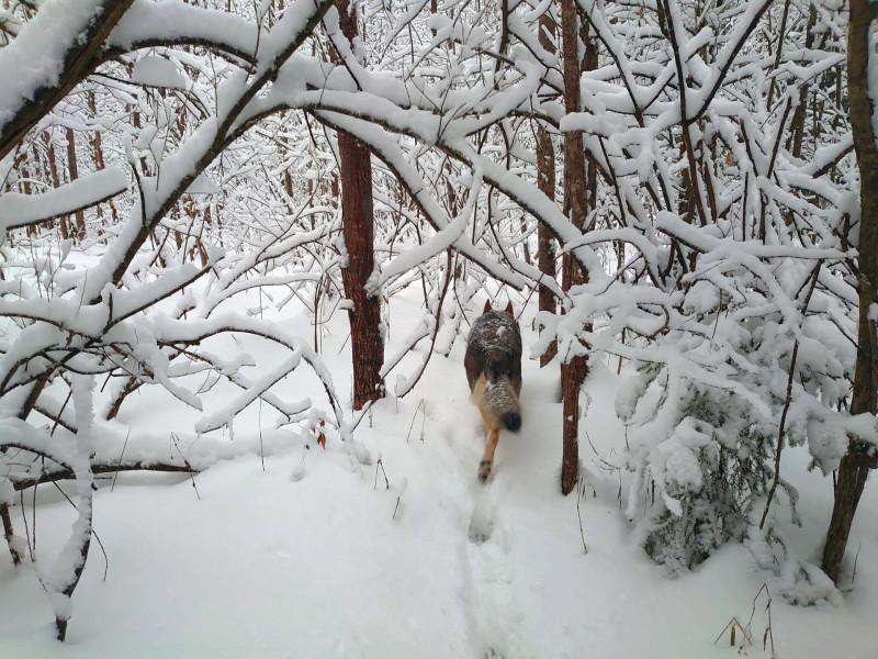 Канис в лесу 2 января 2021 9.jpg