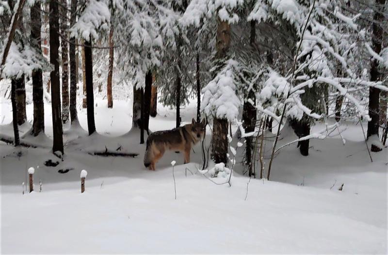 Канис в лесу 2 января 2021 10.jpg