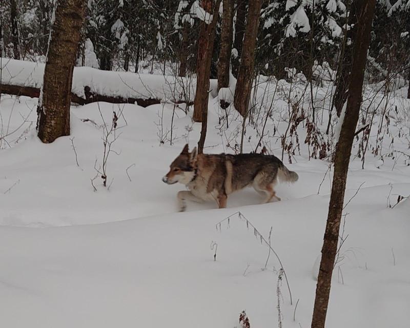 Канис в лесу 22 января 2021 1.jpg