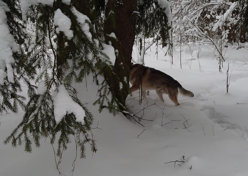 Канис в лесу 22 января 2021 3.jpg