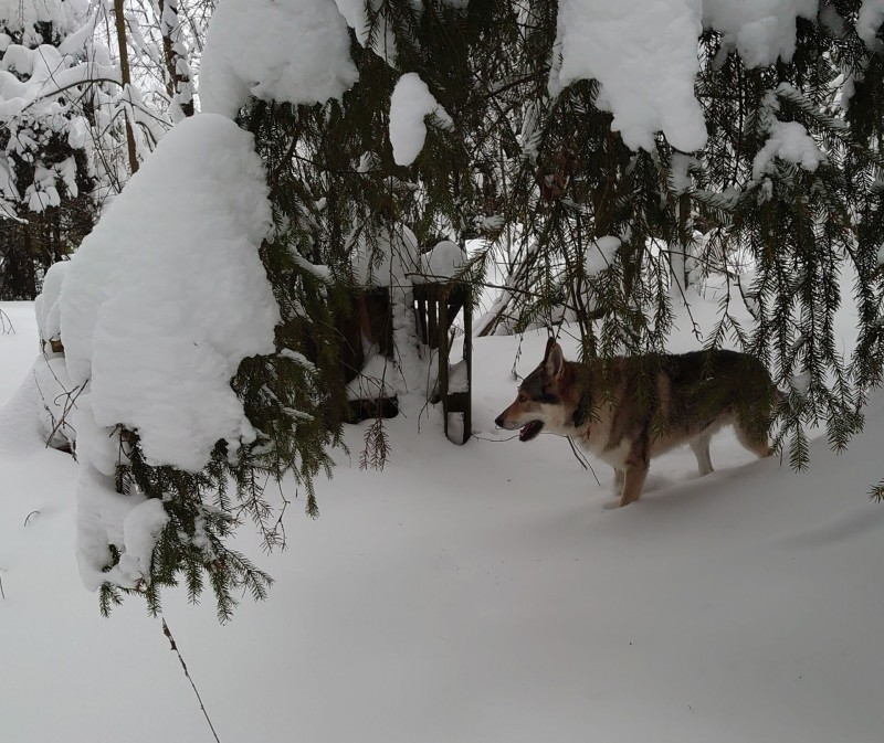 Канис в лесу 22 января 2021 4.jpg
