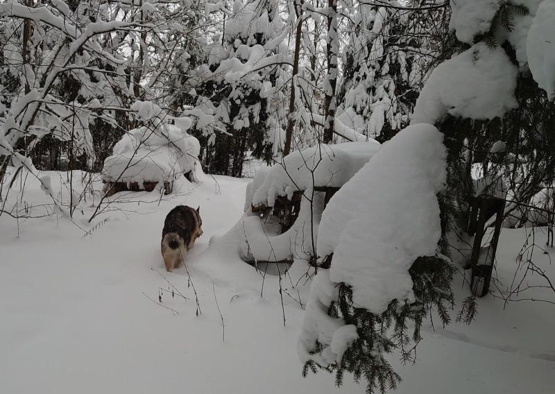Канис в лесу 22 января 2021 5.jpg