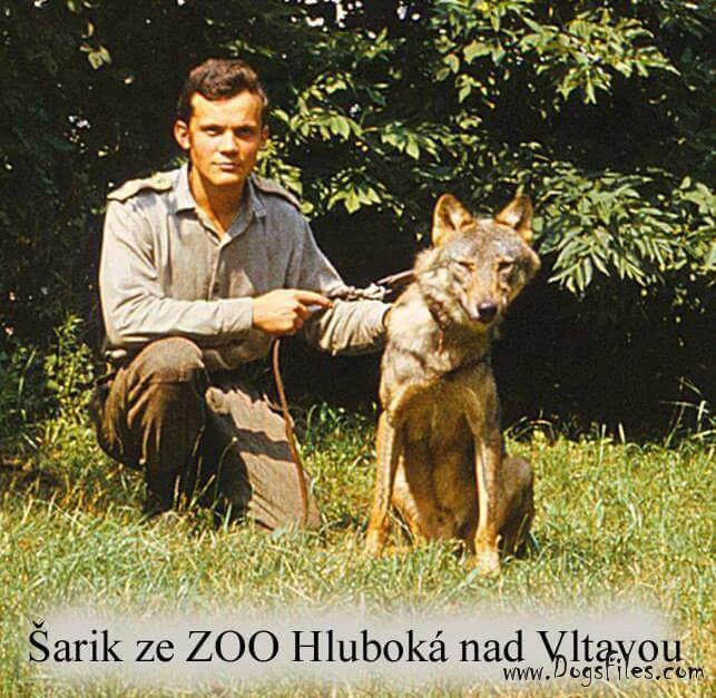 Sarik карпатский волк родоночальник ЧВС 2.jpg