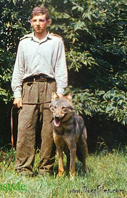 Sarik карпатский волк родоночальник ЧВС 1.jpg