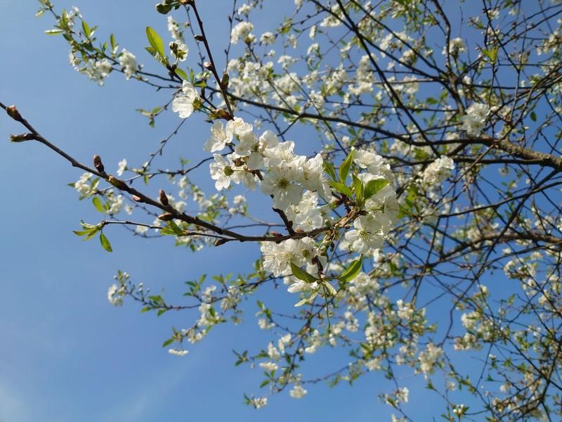 вишня цветёт 15 мая 2021 2.jpg