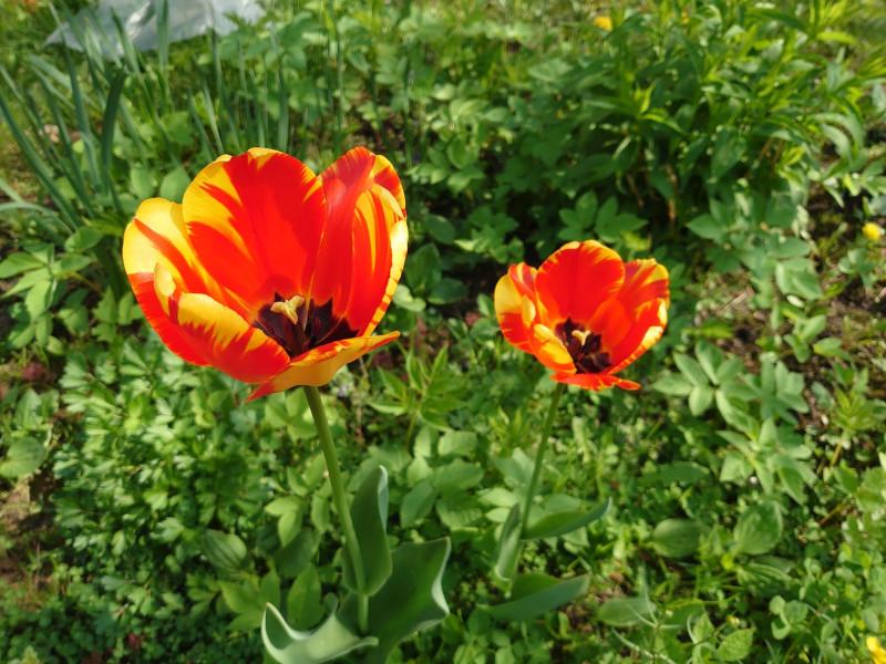 тюльпаны 15 мая 2021 2.jpg
