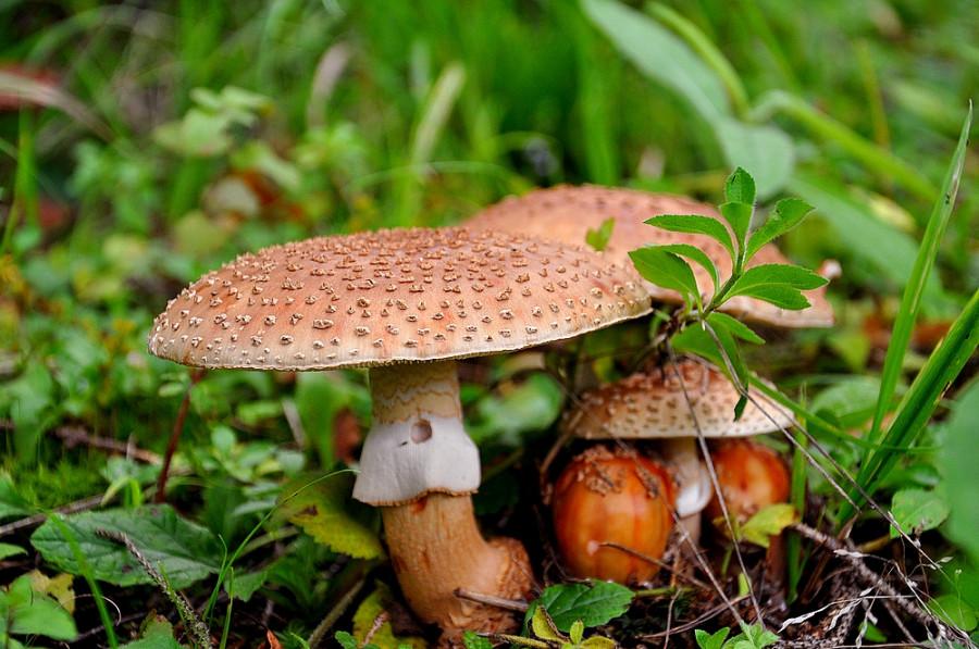 приучил съедобные грибы в латвии фото беллуччи