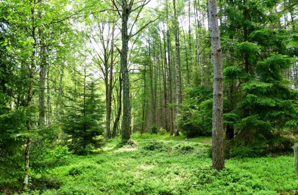 Сосен в данном участке леса